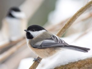Great Backyard Bird Count