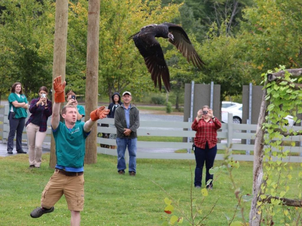 Male with orange gloves releases a juvenile turkey vulture