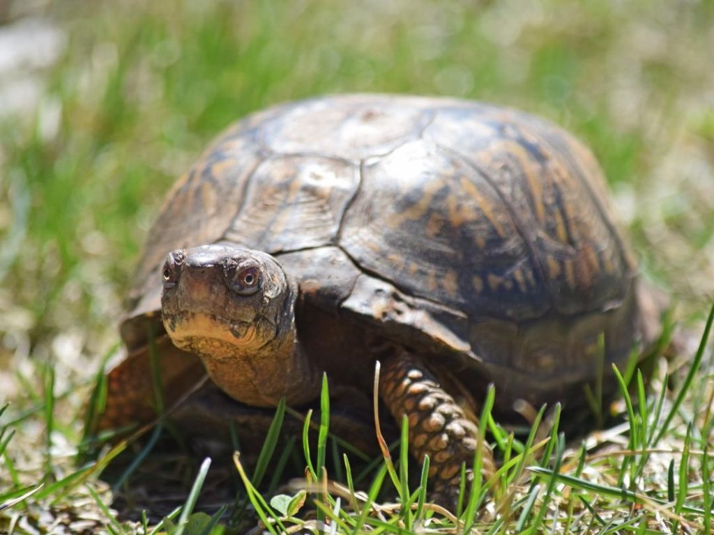 Eastern Box Turtle in grass