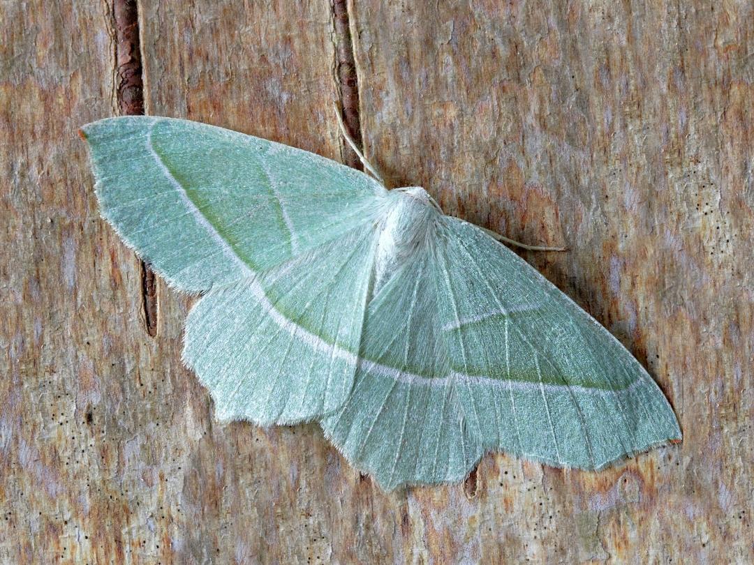 AtHome-Moth-1080x810-1