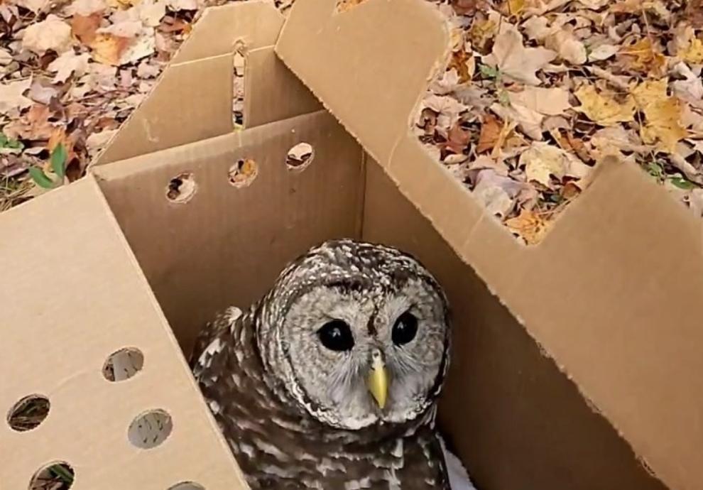Bennington-Barred-Owl-990x690