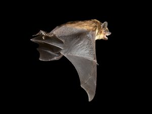 Bats in the time of COVID