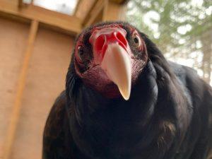 Ogden, Turkey Vulture